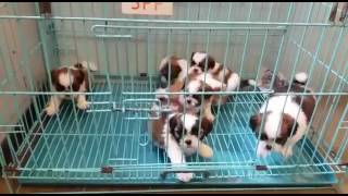 Shihtz dogs and puppies for sale in delhi call 9540809687