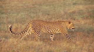 Дикие Кошки - 🐆 Удивительная Природа 🦁 - Интересное видео