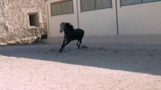 video Legionario suelto  порода: андалузская