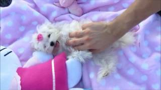 Teacup Puppies For Sale | Maltese | 4 Months Old