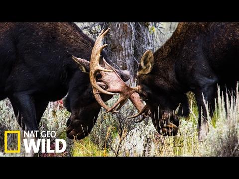 Combat d'élans - Nat Geo Wild