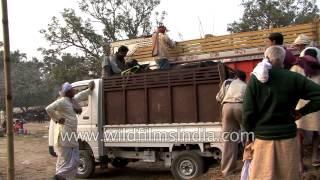 Men loading cattle in mini truck - Saras Mela, Bihar