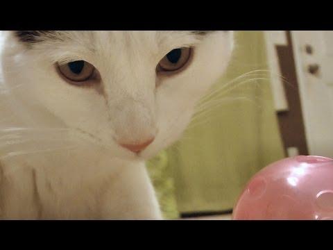 Pancake cat & the Doberman vs PINK BALL - Who has better skills?