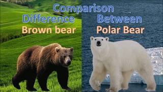 Difference between Polar bear and Brown bear | Kodiak bear vs Polar bear  comparison
