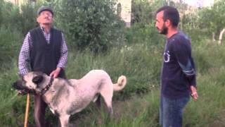 Kangal köpeklari(panter soyu)  1