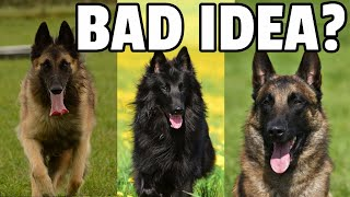 8 Things to Know Before Getting a Belgian Shepherd Dog