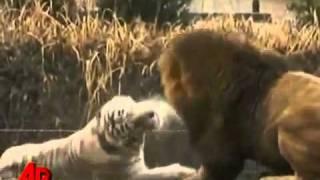 النمر الابيض مقابل الأسد الأفريقي في إيفرلاند