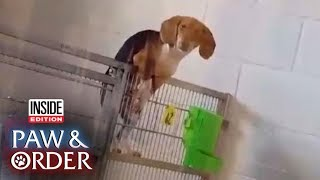 Paw & Order: Beagle Caught on Tape Trying to Escape
