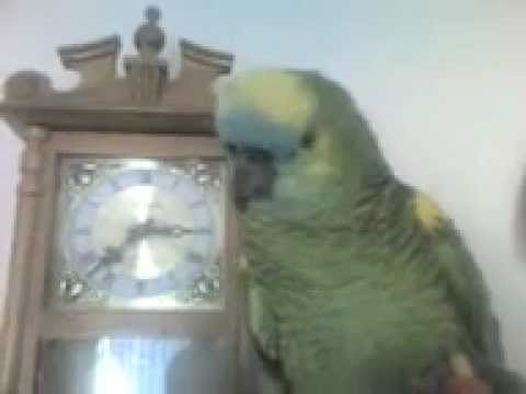 One of the best speaking Blue Front Amazon Parrots