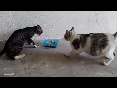 Giving Cat Food and Cats Fighting Over the Food