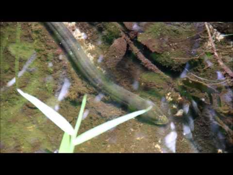 Peixe Cobra, Muçum (Synbranchus Marmoratus)