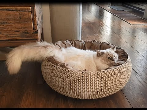Fluffy Ragdoll Cat Is Having The Zoomies (Timo the Ragdoll Cat)