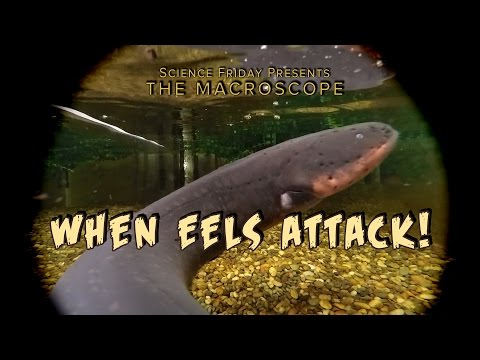 When Eels Attack!