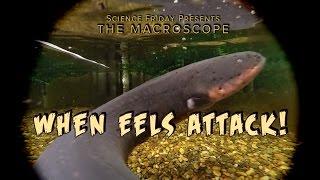 When Eels Attack!