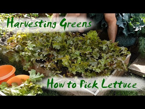 Harvesting Greens | How to Pick Salad Bowl Red Lettuce