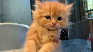 Red Classic RagaMuffin kitten