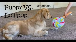 Puppy Plays with a New Toy Lollipop | Lucy the Golden Retriever