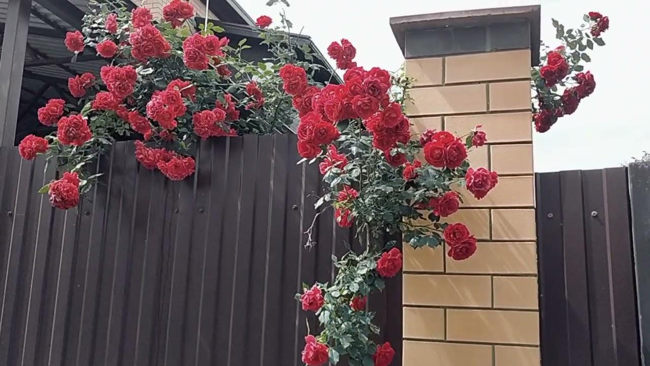 2 июня . Розовая красота. Переезд в Краснодар. Яблоновский