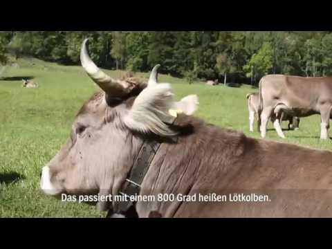 Keinhornkühe  Schweizer Bergbauer kämpft für die Würde der Kuh   YouTube