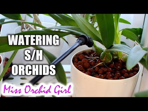 How I water my Orchids in semi hydroponic pots