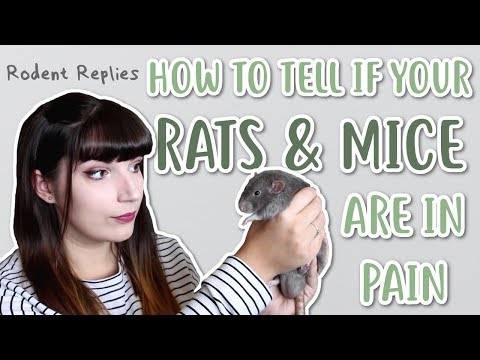 HOW TO TELL IF YOUR RATS & MICE ARE IN PAIN | Rodent Replies 🐭