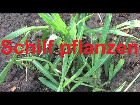 Schilf Einpflanzen Schilf Wurzelsperre Schaffen Rhizomsperre Einbauen Schilf Pflanzen Schilfrohr