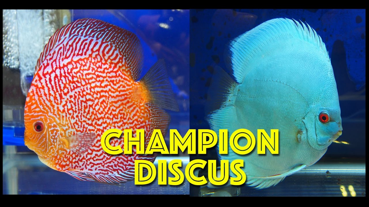 Best championship discus youtube for Keeping discus fish