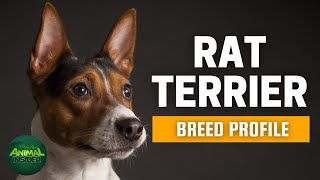 Rat Terrier Dog Breed Profile | Dogs 101  Rat Terrier