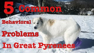 5 common behavioral problems In Great Pyrenees