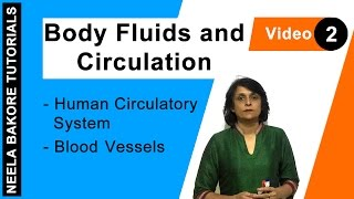 Body Fluids and Circulation - Human Circulatory System - Blood Vessels