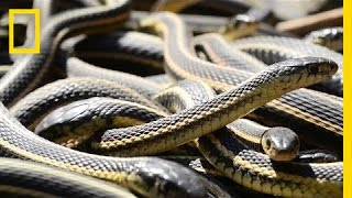 If You're Scared of Snakes, Don't Watch This(Every year, thousands of snakes gather at the Narcisse Snake Dens in Manitoba, Canada. It's billed as the largest gathering of snakes anywhere in the world., 2014-06-26T15:01:51.000Z)