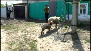 Овцы на прогулке.mpg