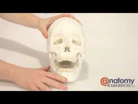Axis Scientific 3-Part Life-Size Numbered Human Skull