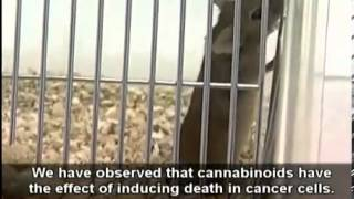 What if Cannabis Cured Cancer full movie
