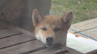 柴犬タロウと家族の日記。 お腹がすいたタロウ。