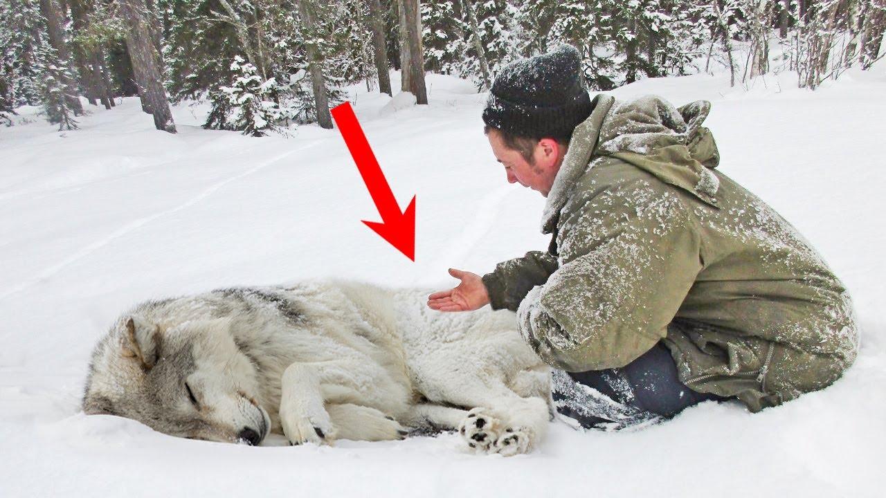 Чтобы подарить ЖИЗНЬ волчатам, мужчине пришлось сделать волчице КЕСАРЕВО. Счет шел на минуты