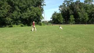 Katie (german Shorthair Pointer) Obedience Training Demonstration