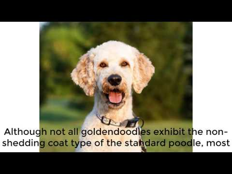 Met my Golden doodle dog