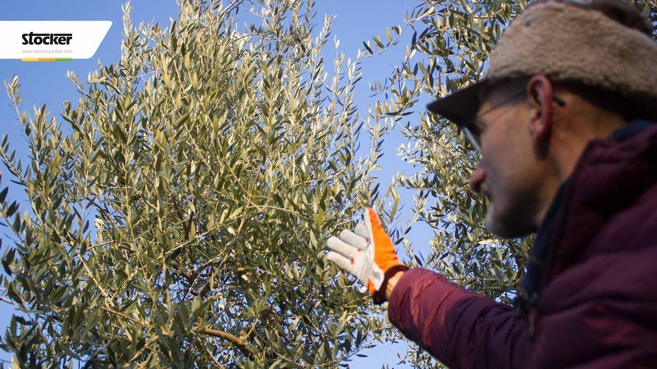 Quando Posso Potare Il Rosmarino potare l'olivo - quando potare l'olivo