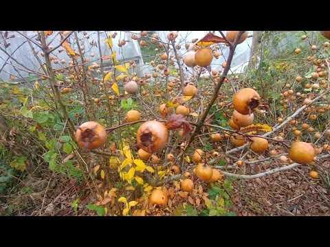 Мушмула германская, плоды созрели в ноябре.