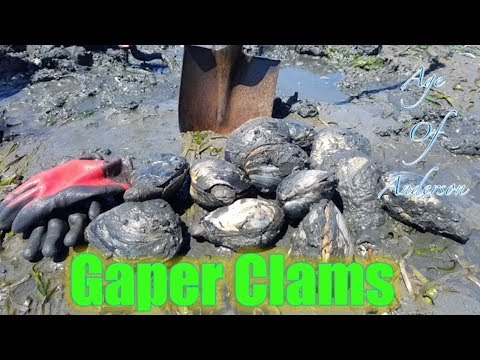 Digging and Cleaning Huge Gaper Clams!