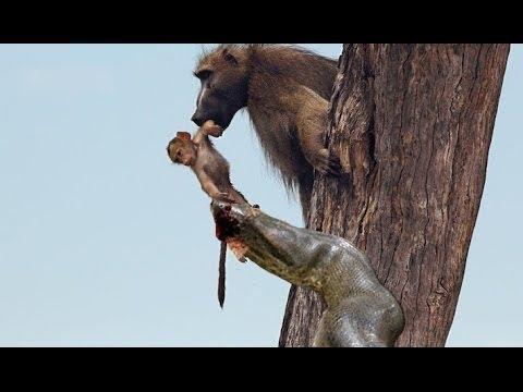 Monkey attack python, animals, monsters, python, crocodile, Mongoose