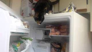 CAT OPENS FREEZER AND GETS FISH FILETS