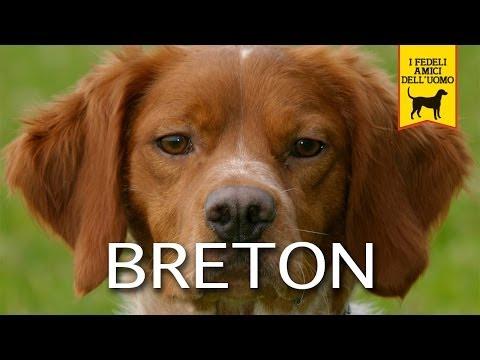 EPAGNEUL BRETON (cane da ferma)