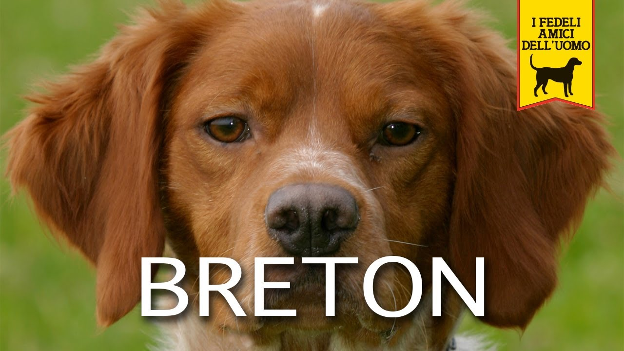 Epagneul Breton Cane Da Ferma Youtube