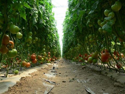 Cultivo De Tomate Orgánico - TvAgro Por Juan Gonzalo Angel