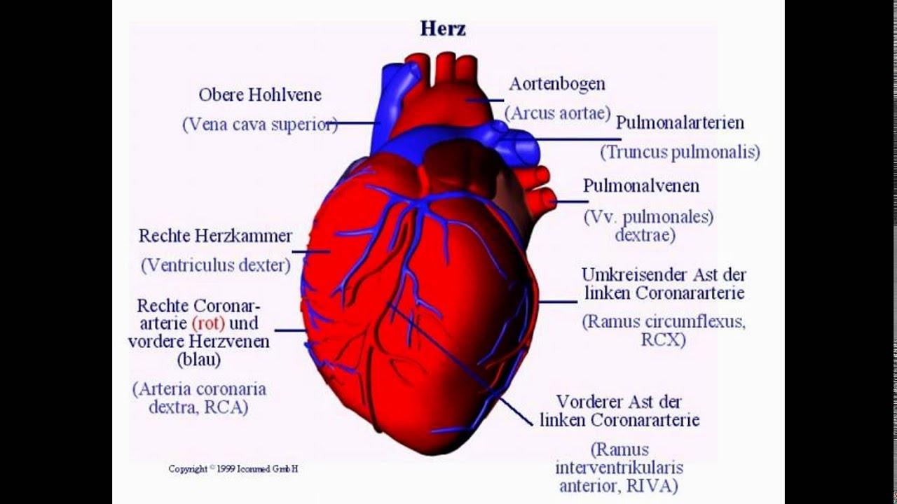Herz Anatomie Bild – homefurnitureideas.co