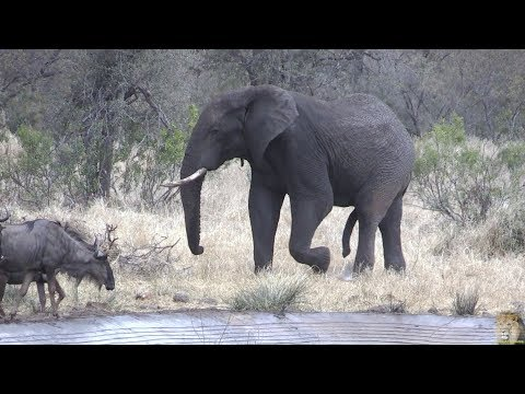 Drama Between Elephant And Wildebeest