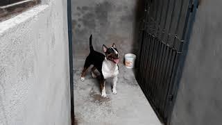 Bull terrier Bravo