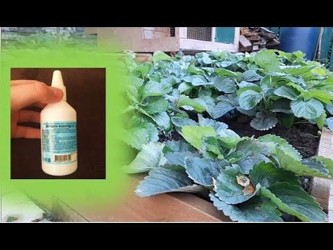 Срочно дайте клубники перекись водорода в сентябре!!! Уход за клубникой осенью для мощного урожая!!!